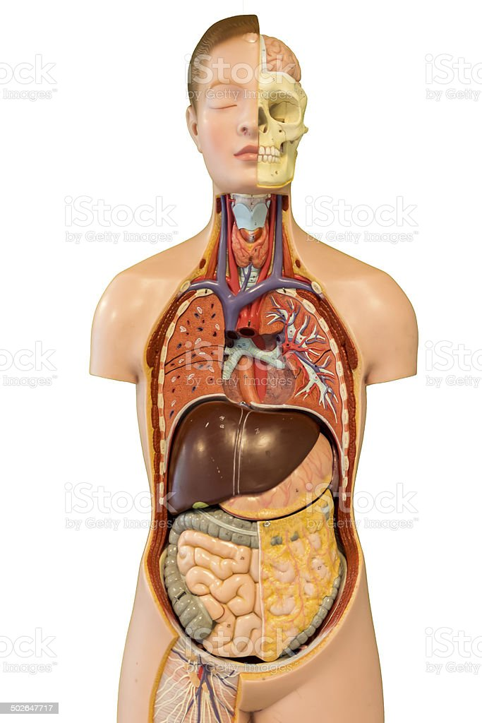 Female human torso doll with details on human intestines. stock photo