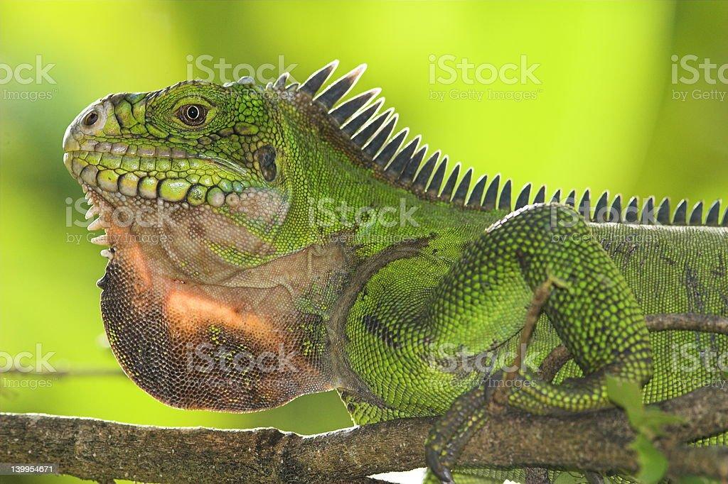Female Iguana stock photo