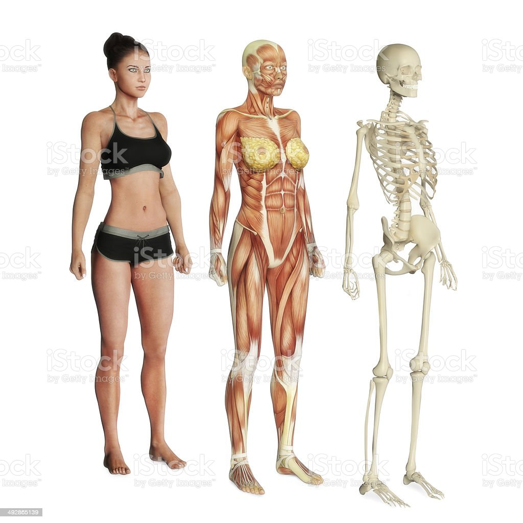 Female illustration of body systems stock photo