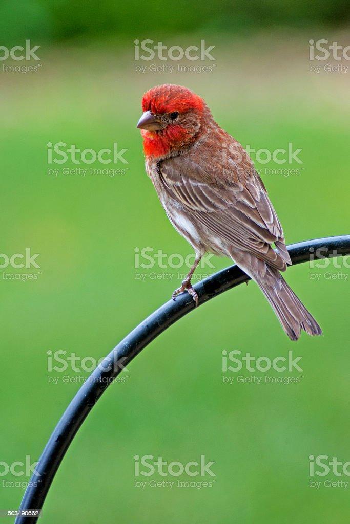 Female Immature Purple Fitch Bird poised. stock photo