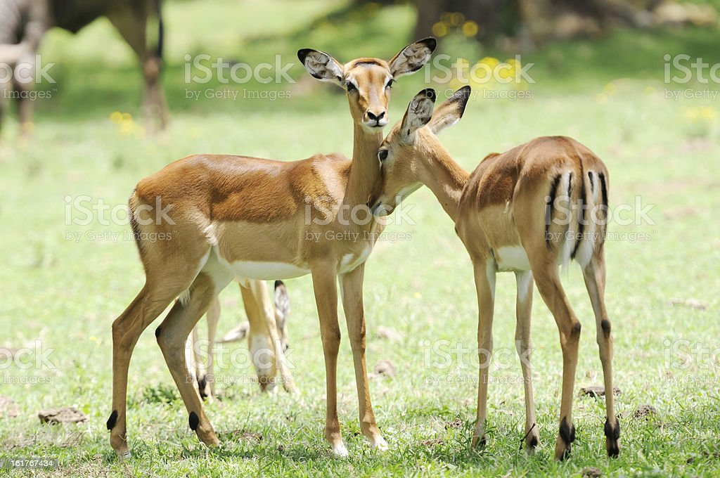 Female impala antelopes royalty-free stock photo