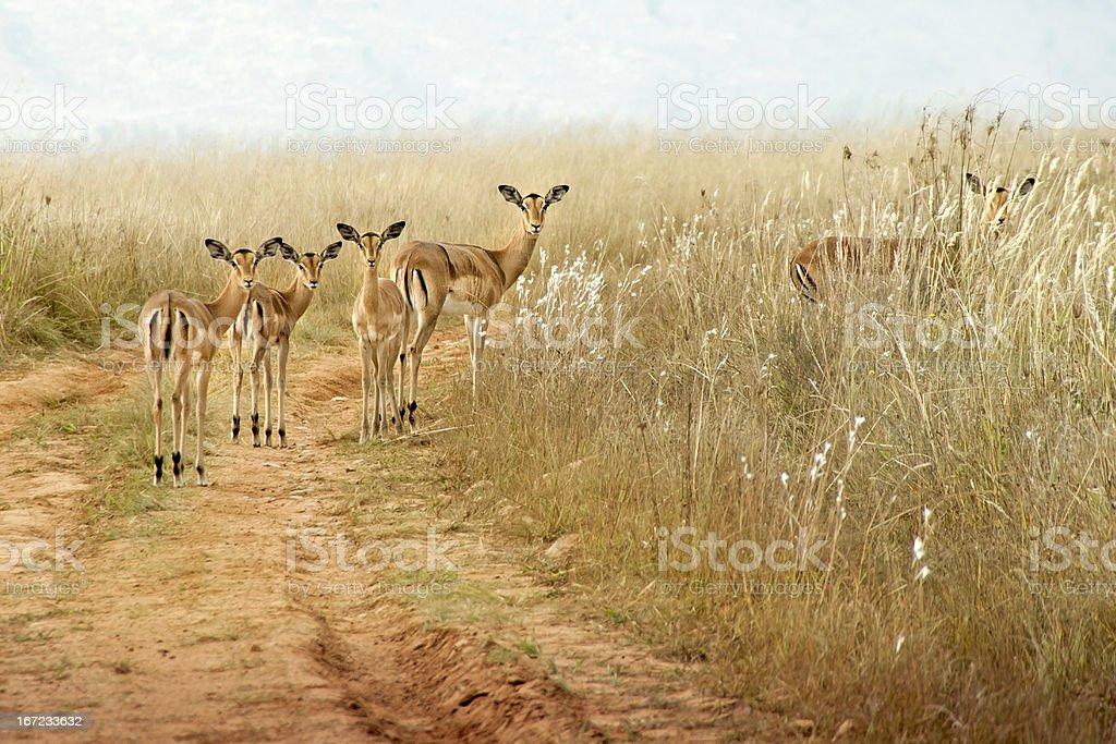 Female Impala buck looking curious royalty-free stock photo