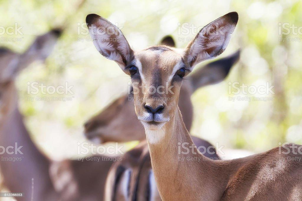 Female impala, Kruger National Park, South Africa stock photo