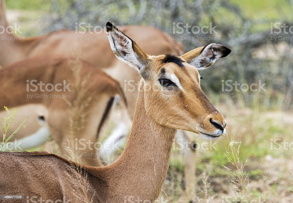 female impala stock photo