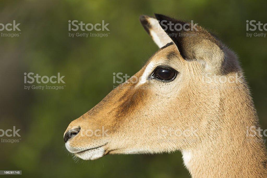 Female Impala (Aepyceros Melampus) South Africa. Portrait royalty-free stock photo