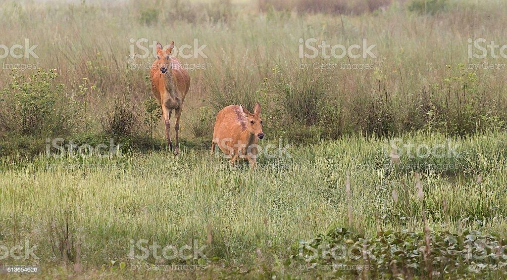 Female Indian deer barasingha stock photo