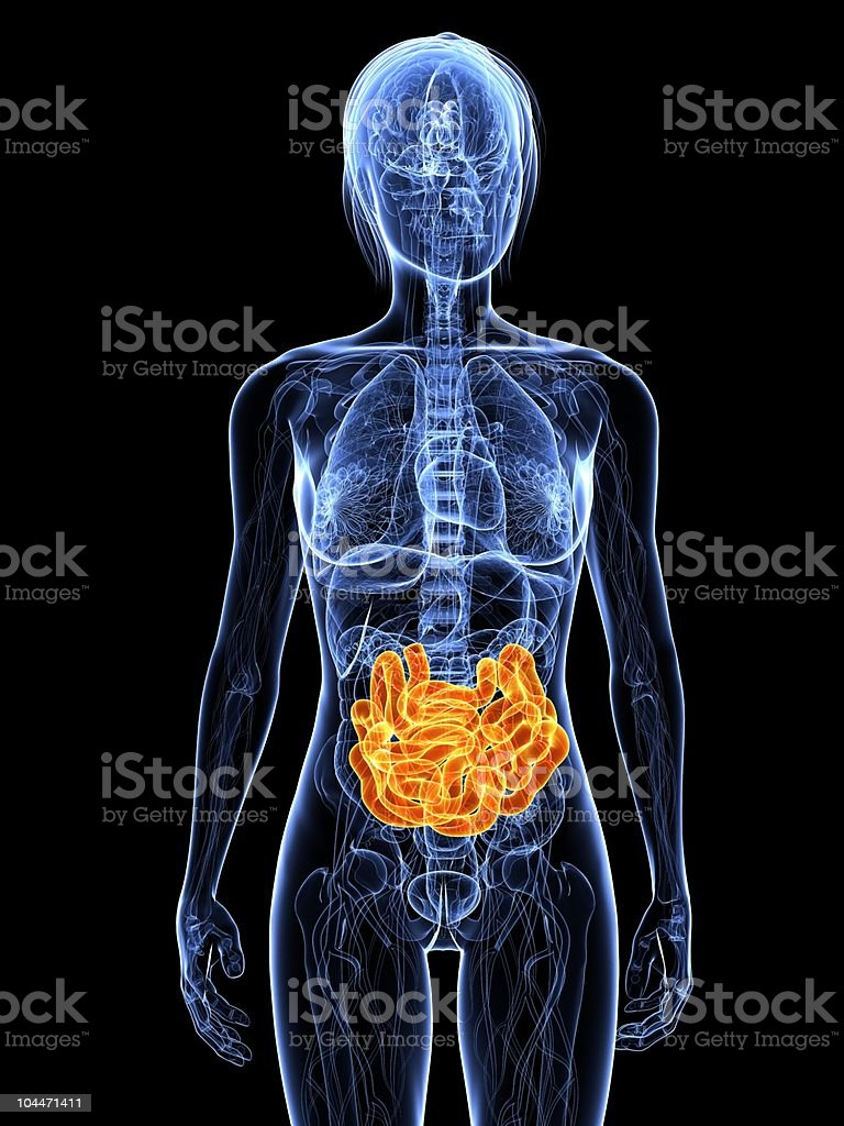female intestine royalty-free stock photo