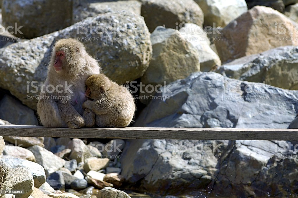 Female Japanese Macaque with Cub royalty-free stock photo