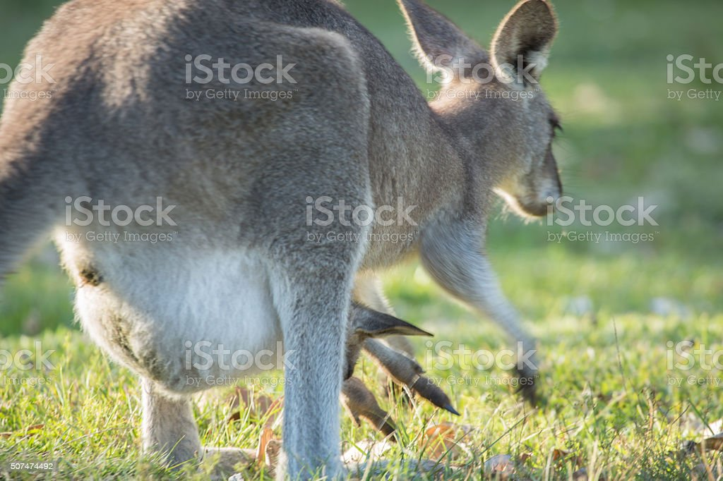 Female kangaroo jumping with baby joey in pouch stock photo