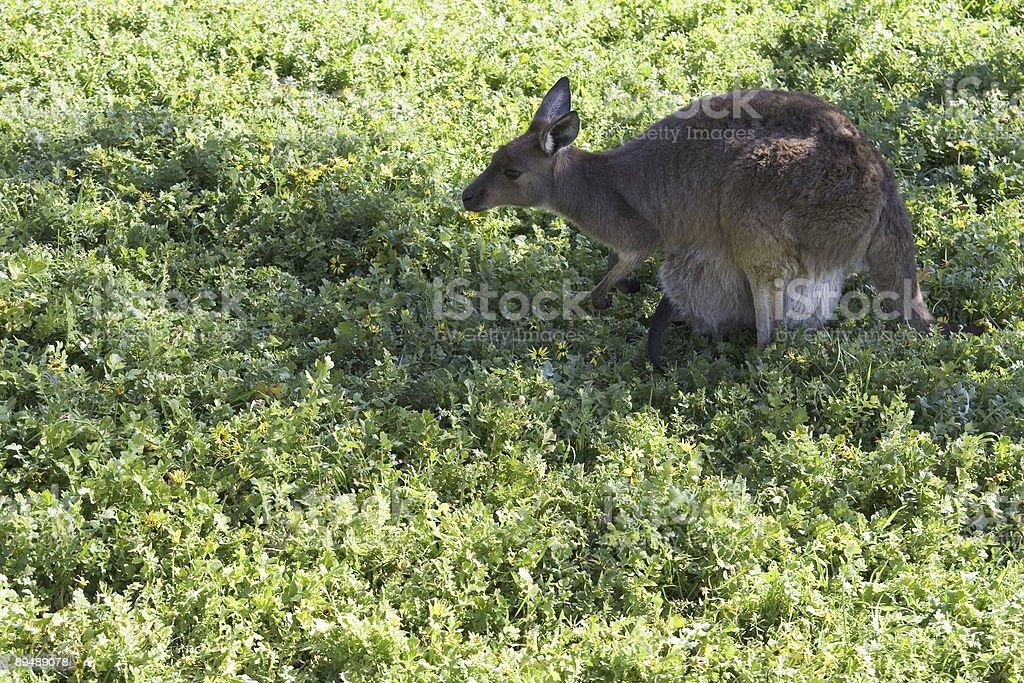 Female kangaroo royalty-free stock photo