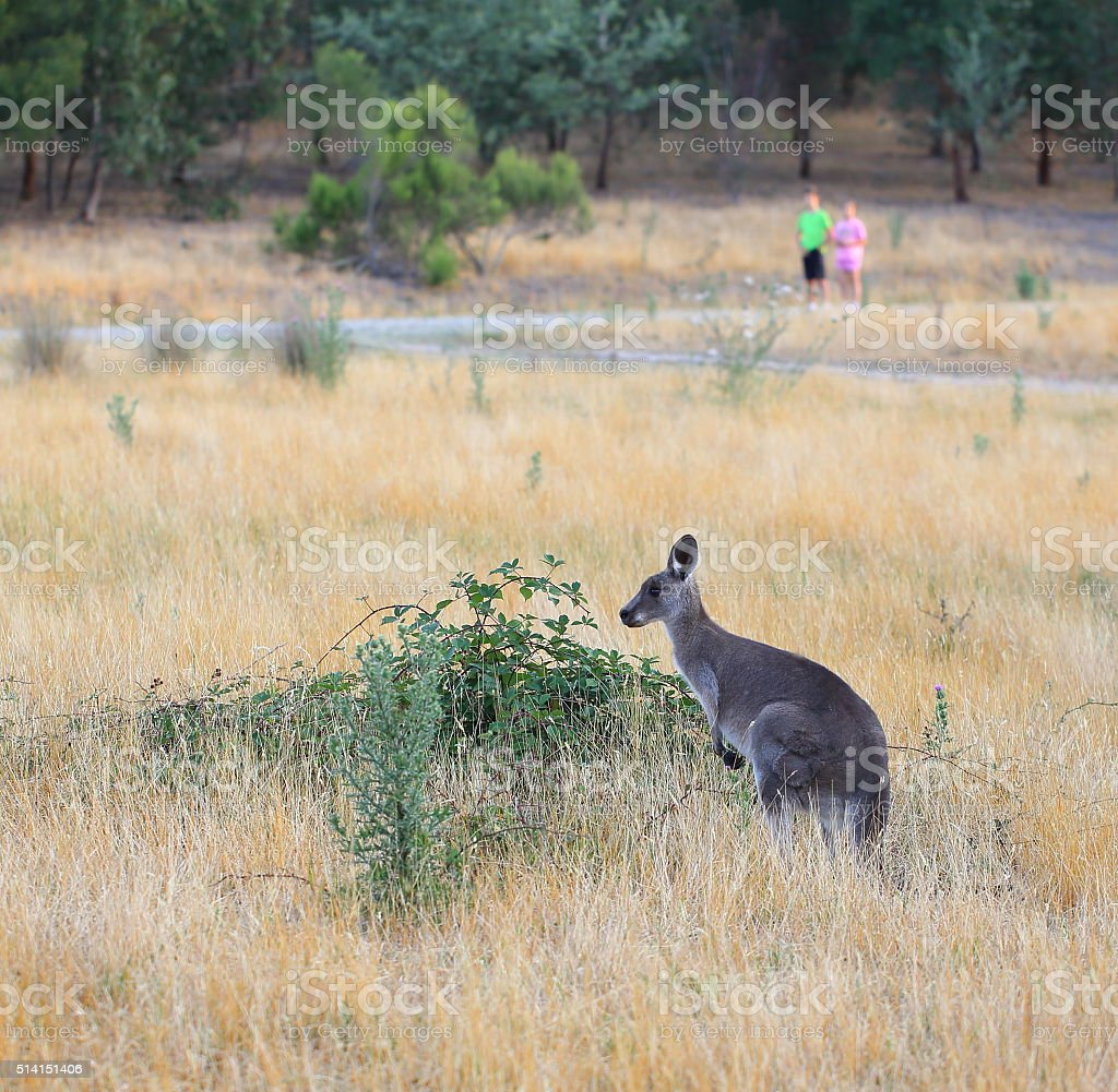 Female kangaroo with joey stock photo