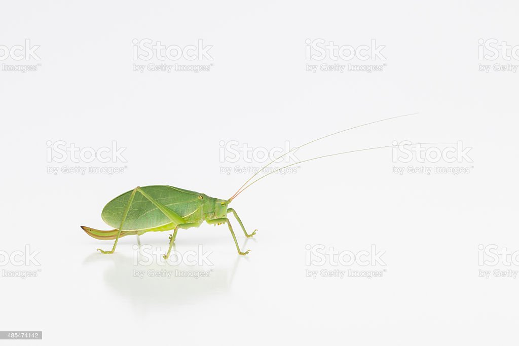 Female katydid with ovipositor stock photo