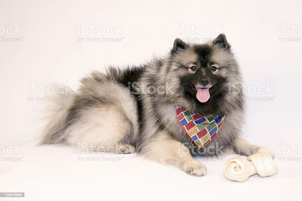 Female Keeshond with scarf and bone royalty-free stock photo