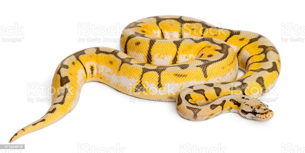 Female Killerbee Royal python, one year old, white background. stock photo