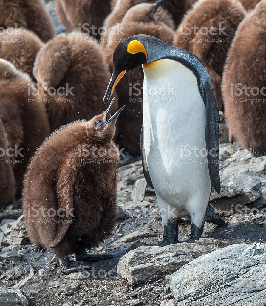 Female King penguin feeding her chick in South Georgia stock photo