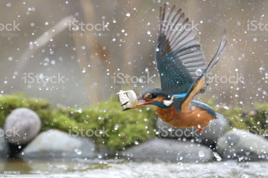 Female Kingfisher fishing stock photo