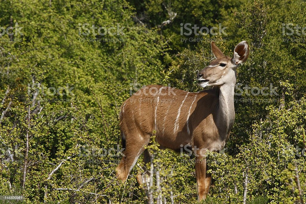 Female kudu eating royalty-free stock photo