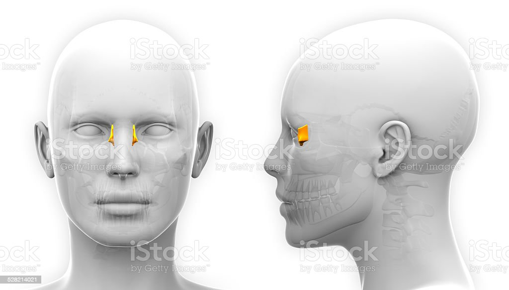 Female Lacrimal Skull Anatomy - isolated on white stock photo