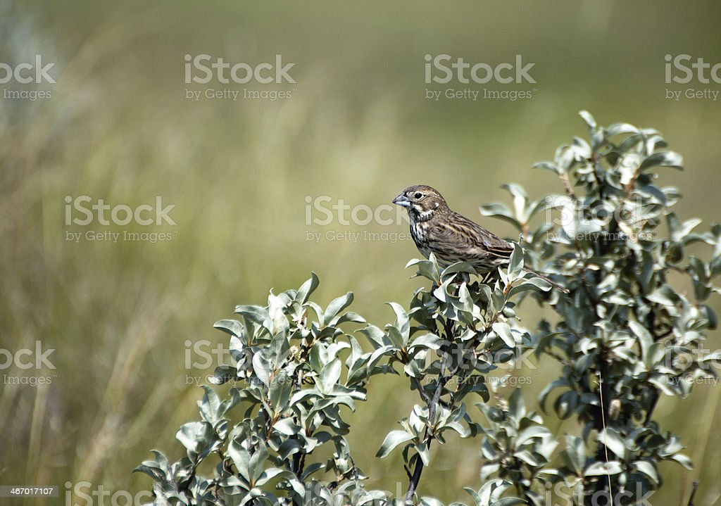 Female Lark Bunting - Grasslands National Park, Saskatchewan stock photo