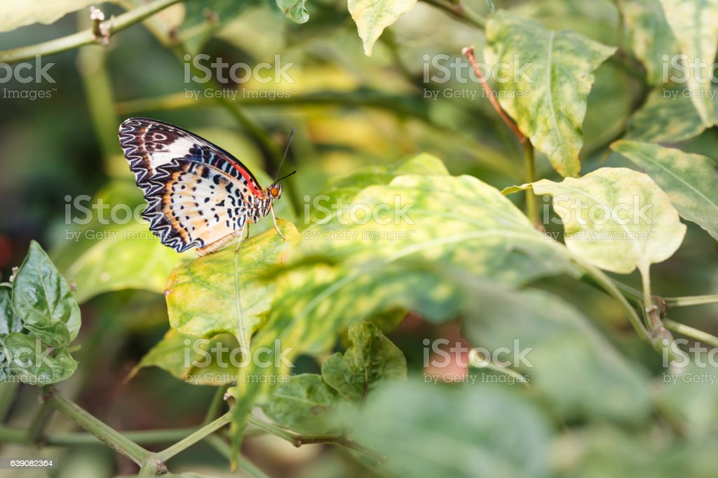 Female Leopard lacewing (Cethosia cyane euanthes) butterfly hang stock photo