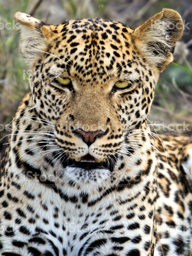 Female Leopard portrait, Chobe NP, Botswana stock photo