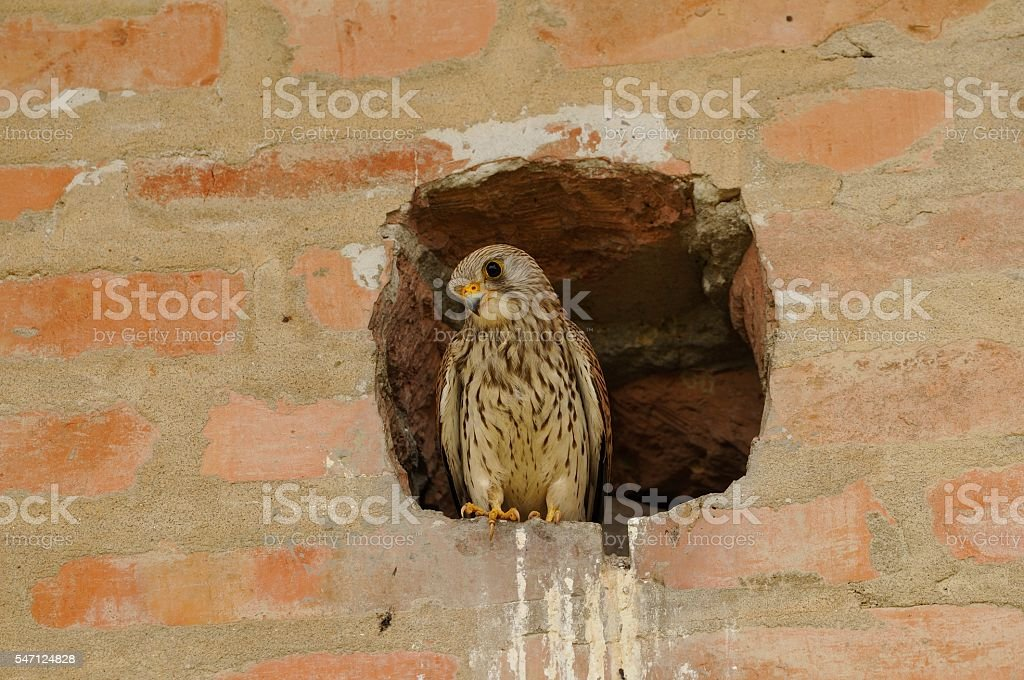female lesser kestrel stock photo