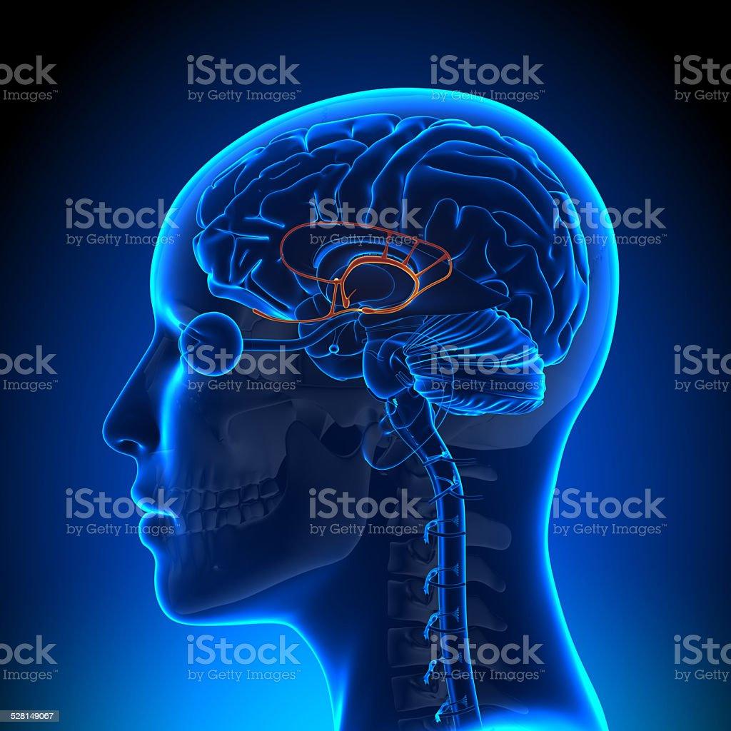 Female Limbic System - Anatomy Brain stock photo