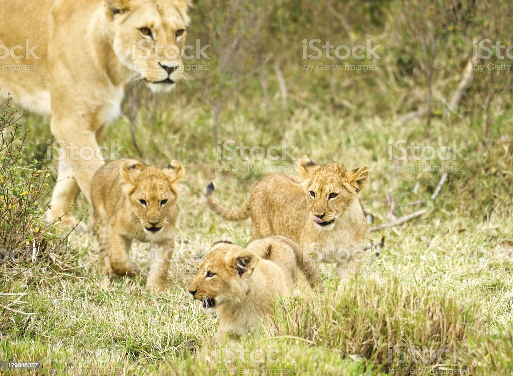 female  lion and baby royalty-free stock photo