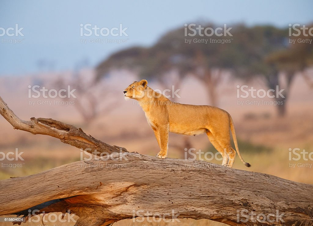 Female Lion in the Serengeti, Tanzania Africa stock photo