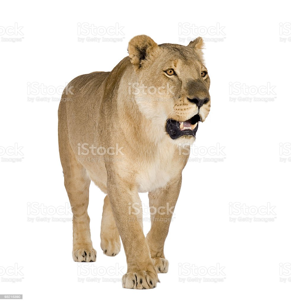 Female lion pacing and growling stock photo