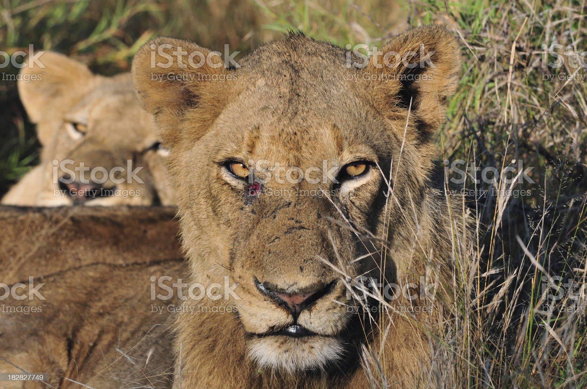 Female Lion royalty-free stock photo