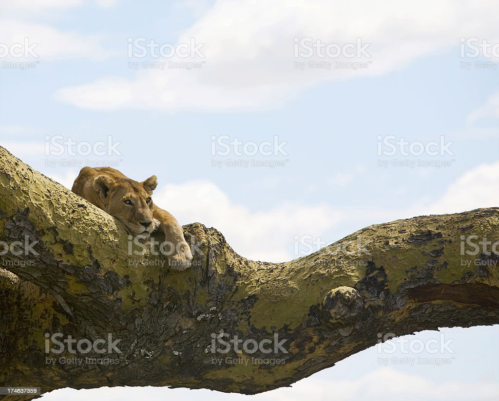 Female lion resting on a tree branch. royalty-free stock photo