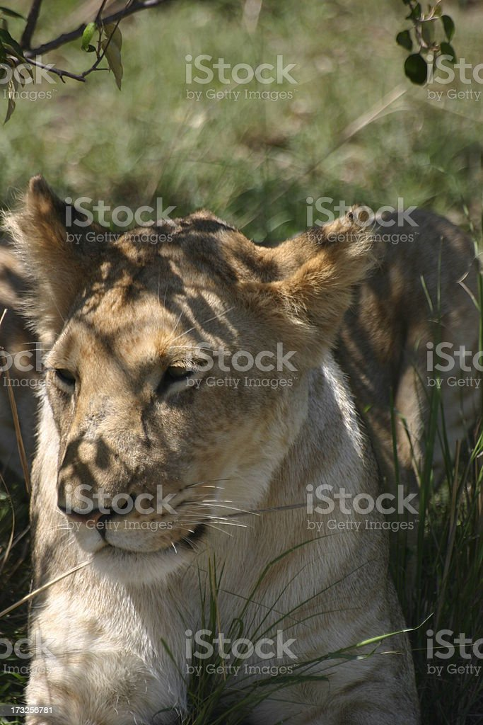 Female Lion rests in the Shadow, Masai Mara, Kenya, Africa royalty-free stock photo