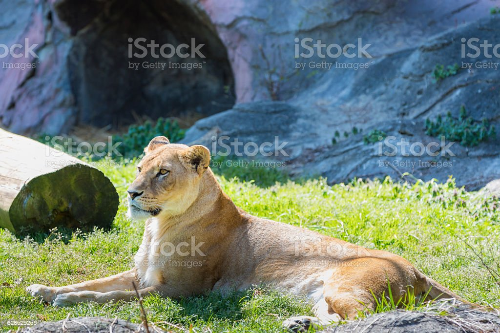 female lion sitting on green grass in daylight stock photo