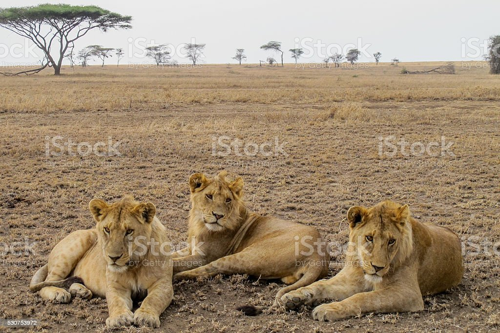 Female lions in African savanna stock photo