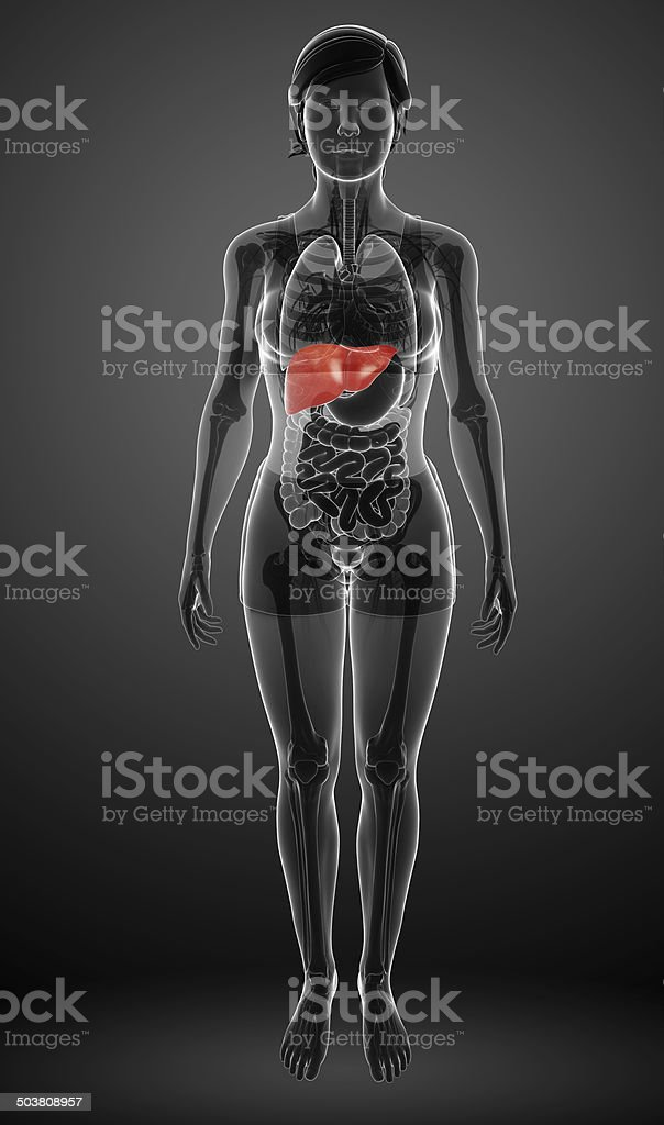Female liver anatomy stock photo