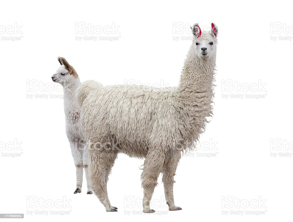 Female llama with a baby stock photo