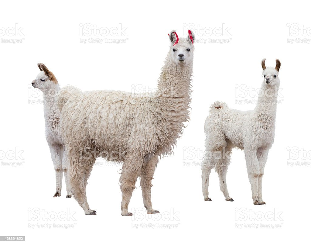 Female llama with babies stock photo