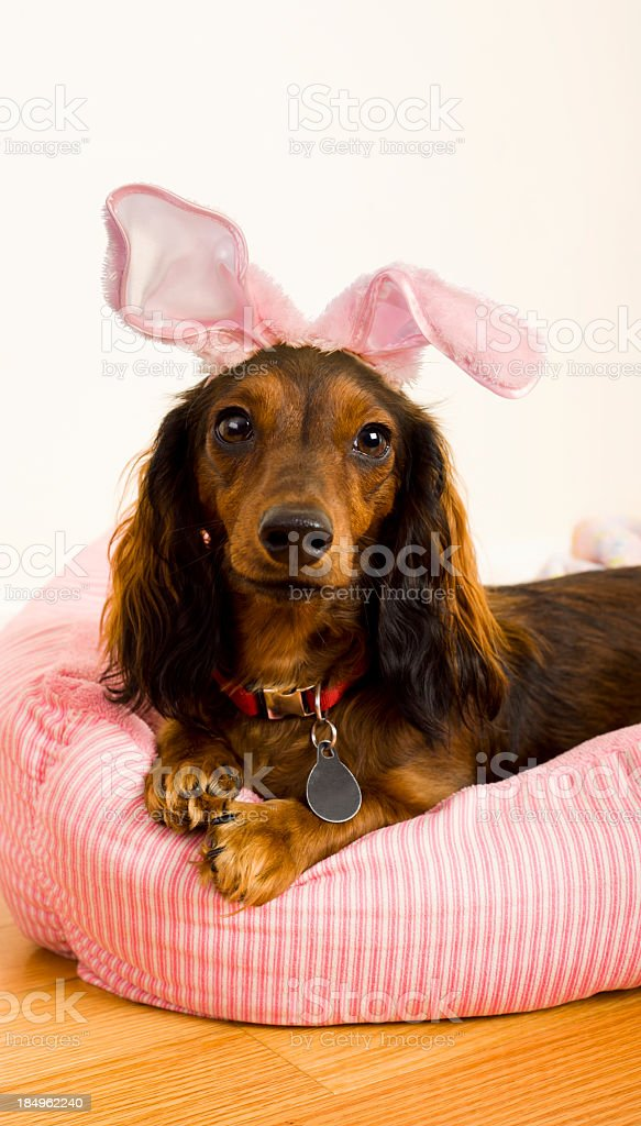 A female long-haired Dachshund wearing fabric bunny ears. stock photo