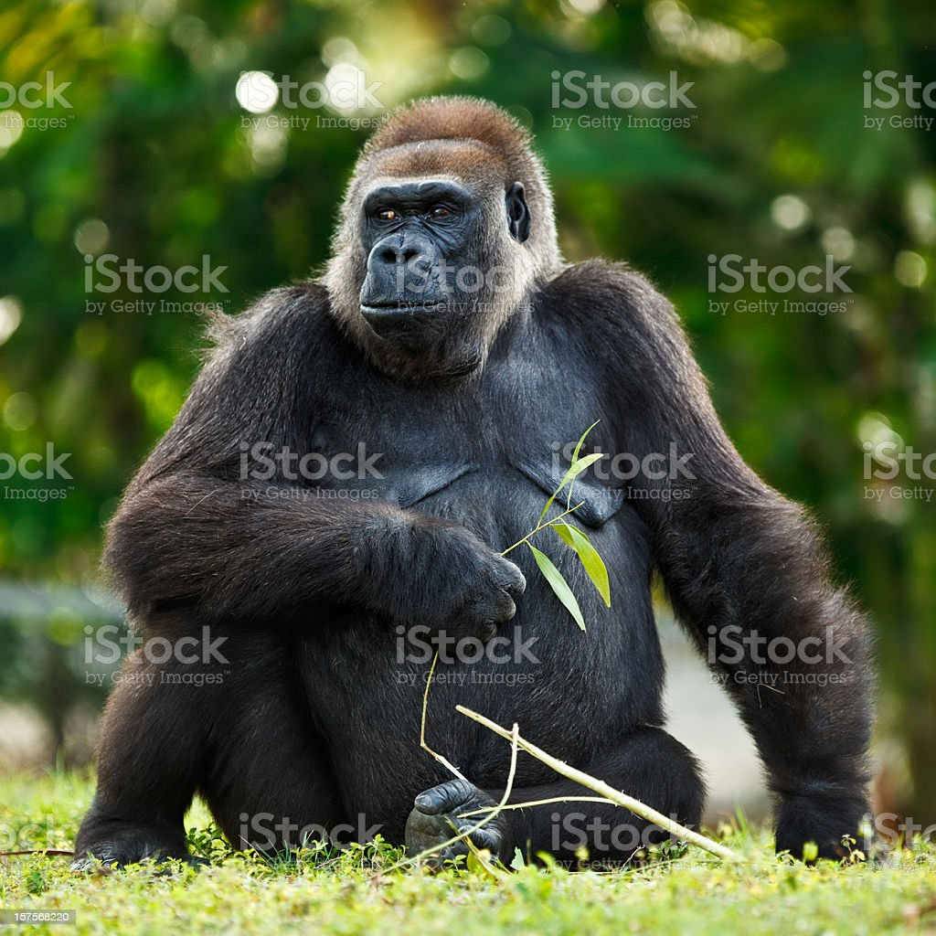 female lowland silver-back gorilla stock photo