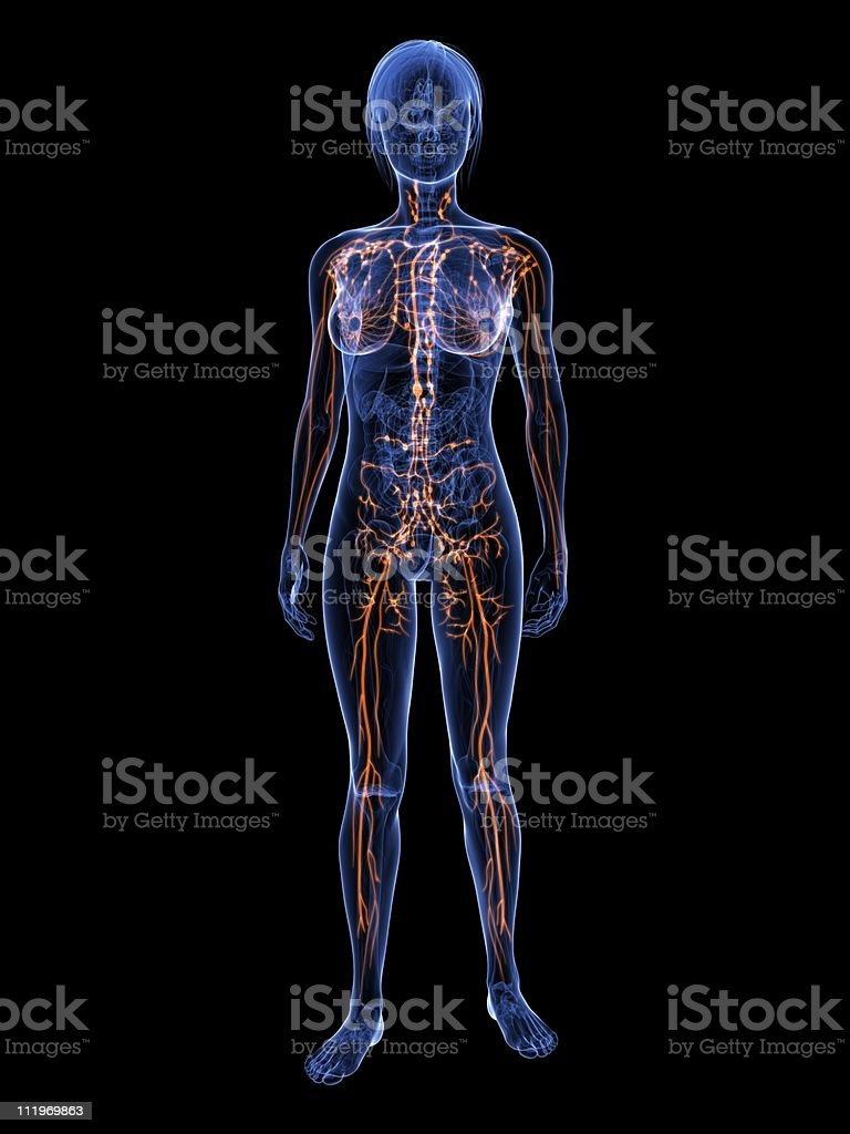 female lymphatic system royalty-free stock photo