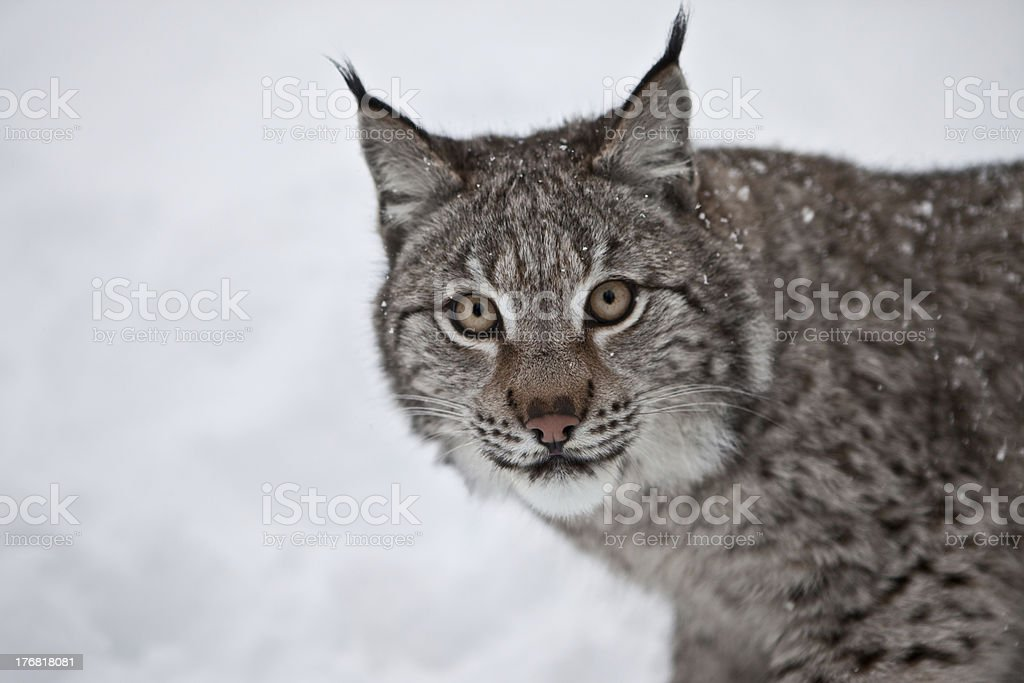 Female Lynx in Norway royalty-free stock photo
