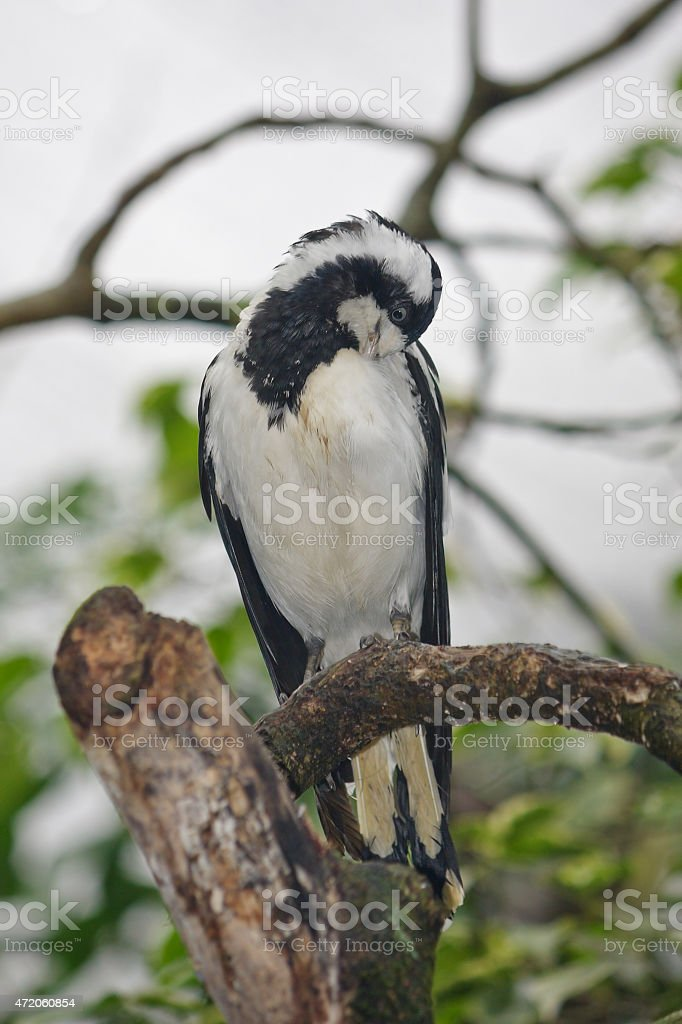 Female Magpie-lark grooming stock photo