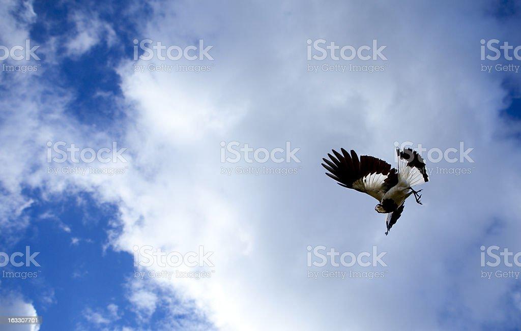 Female Magpie-lark stock photo