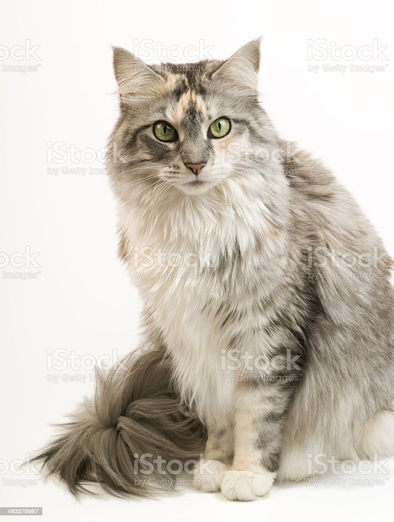 Female Maine Coon Cat stock photo