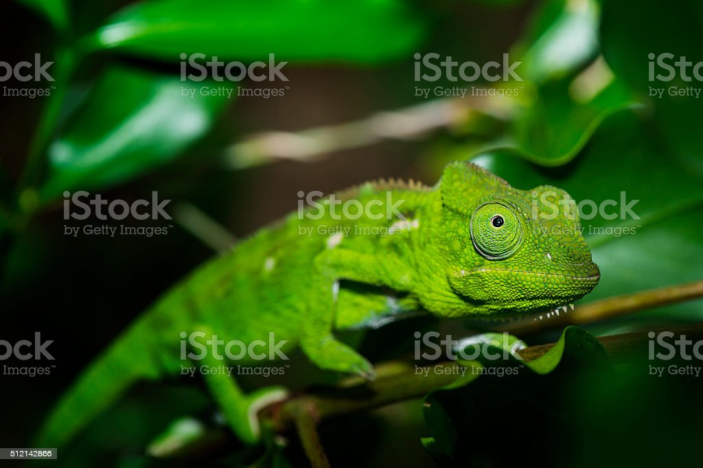 Female Malagasy Giant Chameleon (Furcifer oustaleti) stock photo