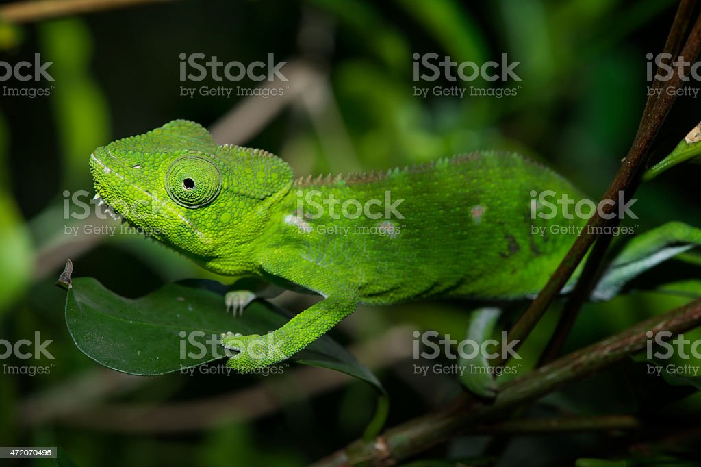 Female Malagasy Giant Chameleon (Furcifer oustaleti), wildlife shot, Madagascar stock photo