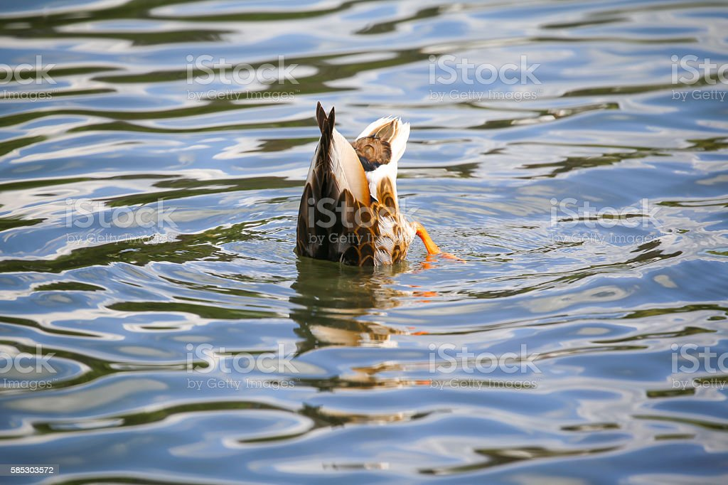 Female mallard duck bobbing for food stock photo