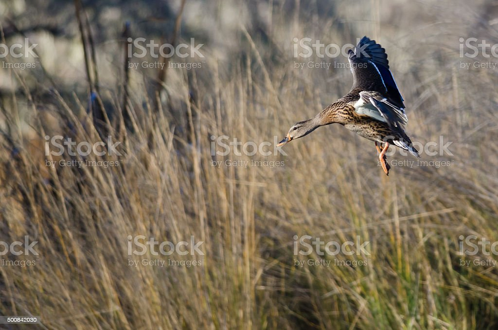 Female Mallard Duck Coming in for a Landing stock photo