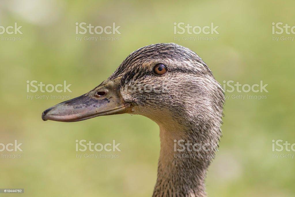 Female mallard duck head in profile stock photo